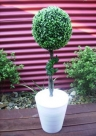 topiary tree hire